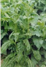 串葉松香草種植