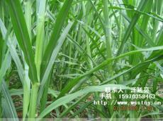 台湾甜象草