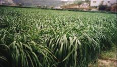 黑麦草种子