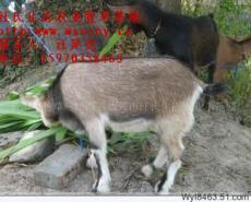 皇竹草养羊