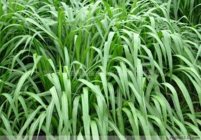 新型皇竹草2