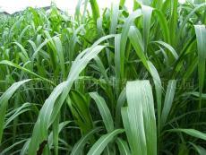 新型皇竹草5