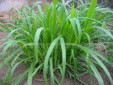 新型皇竹草6