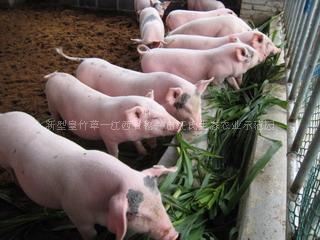 台湾甜象草不开花