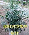 北川特色花卉棕竹出租出售