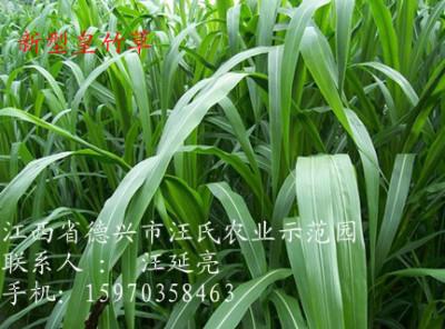 台湾甜象草种子骗人