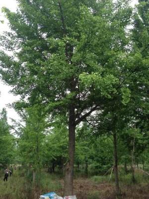 银杏树/白果树