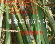 台湾甜象草芽节
