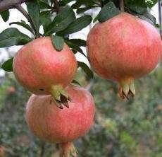 出售三年生突尼斯軟籽石榴樹