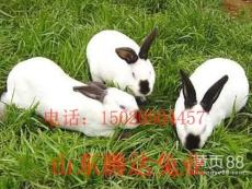 八點黑種兔 八點黑種兔價格