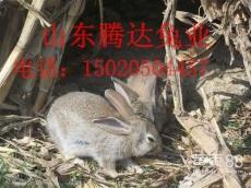 種兔養殖雜交野兔