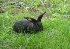 今日蓮山黑兔子養殖前景