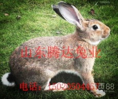現在比利時兔多少錢 比利時兔市場價格是多少