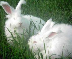 我想养兔子但不知道哪个品种好能赚钱 腾达推荐养殖长毛兔利润高