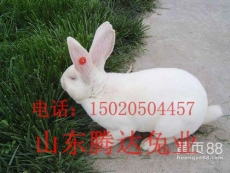 金星獭兔 长毛兔 野兔 大型肉兔 投资少 效益高