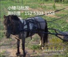 德保矮马的养殖管理技术