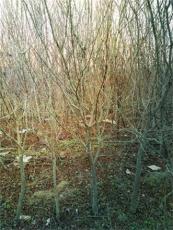 哪里有賣石榴樹 果苗 樹樁 古樹枝 蚌埠懷遠心晴石榴苗圃1公分 2公分石榴樹苗3月19日銷售350棵