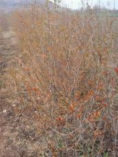 買石榴樹到懷遠心晴石榴苗圃 酸甜石榴果實大 產值高